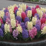Hyacinth 10 Bulbs, only £9.99