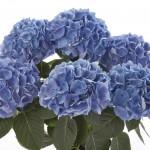 Hydrangea Saxon Rathen 1 Plant 3 Litre, only £14.99