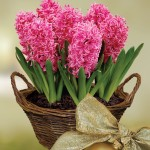 Scented Indoor Hyacinth 7 Bulbs in Rustic Basket only £16.99!