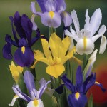 Dutch Iris Collection 50 Bulbs, only £9.99
