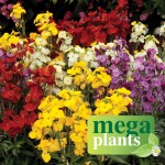 Wallflower Wizard 12 Mega Plants, Only £9.99
