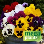 Pansy Colourburst 12 Mega Plants, Only £9.99