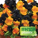Pansy Black & Orange 12 Mega Plants, just £9.99