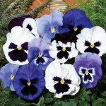 Pansy Oceana 24 Super Ready Plants, only £11.99