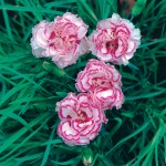 Pinks Gran's Favourite 1 Plant 2 Litre, only £11.99