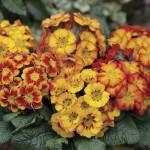 Polyanthus Fireglow 6 XLarge Plants, just £9.99