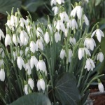 Snowdrops 50 Bulbs, only £10.99
