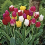 Tulip Triumph Mix 15 Bulbs, Only £8.99