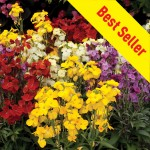 NEW Variety: Wallflower Wizard 24 Super Ready Plants, only £11.99!