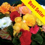 Begonia Destiny 100 Plug Plants + 70 FREE, only £14.99