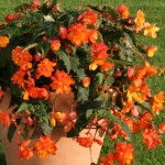 Begonia Apricot Sparkle (Trailing) 100 Small Plugs + 70 FREE, just £15.99