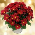 Red Chrysanthemum Plant, only £12.99