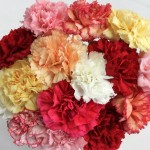 15 Mixed Christmas Carnations, only £15.99