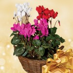 Cyclamen Plant in a Rustic Basket, only £14.99