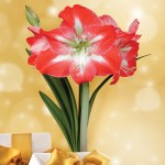 Giant Amaryllis Boxed Kit, only £15.99