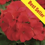 Geranium Fire Queen 100 Plug Plants + 70 FREE, only £14.99