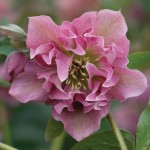 Hellebore Double Ellen Pink 1 plant 9cm Pot, just £10.99