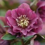 Hellebore Double Ellen Purple 1 plant 9cm Pot, just £10.99