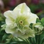 Hellebore Double Ellen White 1 Plant 9cm Pot, just £10.99