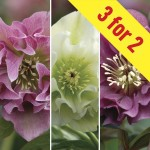 Hellebore Double Ellen Collection 3 Plants 9cm Pot, just £21.98