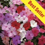 Busy Lizzie (Impatiens) Jigsaw 100 Small Plug + 70 FREE, just £14.99