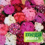 Sweet William Rouge Blush 12 Mega Plants, only £9.99!