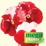 Pansy Strawberry Rose 12 Mega Plants, only £9.99!