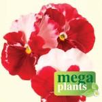 Pansy Strawberry Rose 12 Mega Plants, only £9.99!