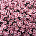Hardy Mums Pink 2 Pre-Planted Containers, only £19.98!