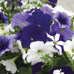 Petunia Montage 100 Small Plugs + 70 FREE, just £15.99