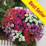 Petunia Grand Prix (Trailing) 100 Plug Plants + 70 FREE, only £14.99
