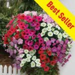 Petunia Grand Prix (Trailing) 100 Plug Plants + 70 FREE, only £14.99