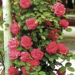 Climbing Rose Pink Heidelberg 1 Plant Bare Root, only £8.99!