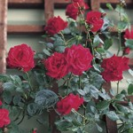 Patio Rose Red 1 Plant Bare Root, only £8.99!