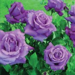 Hybrid Tea Rose Waltztime 1 Bare Root Plant, only £8.99!