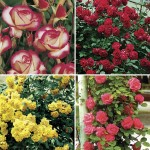Climbing Roses Scented Collection 4 Bare Root Roses, only £17.99!