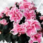 Azalea Plant, only £13.99!