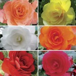 Begonia Destiny Patchwork 50 Medium Plugs + 20 FREE, Only £13.99