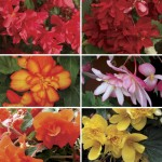 Begonia Sparkle Patchwork (Trailing) 50 Medium Plugs + 20 FREE, Only £13.99