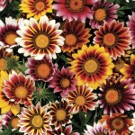 Gazania Firecracker 50 Ready Plants + 20 FREE, only £13.99!