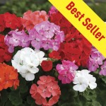 Geranium Parade 30 Ready Plants + 15 FREE, only £9.99