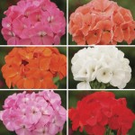 Geranium Parade Patchwork 50 Medium Plugs + 20 FREE, Only £13.99