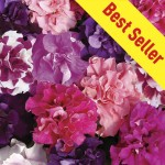 Petunia Bolero 30 Ready Plants + 15 FREE, only £9.99