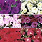 Petunia Grand Prix Patchwork (Trailing) 50 Medium Plugs + 20 FREE, Only £13.99