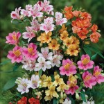 Alstroemeria Mixed 10 Bulbs, only £11.99!