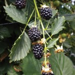 Blackberries Reuben 1 Plant 9cm Pot, only £9.99!