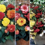 Begonia Mixed 12 Tubers, only £9.99!
