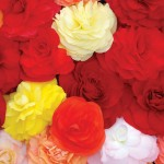 Begonia Compacta 50 Ready Plants + 20 FREE, only £12.99!