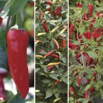Chilli Peppers - Medium Hot Collection 6 XLarge Plants, only £6.99!