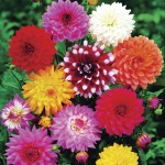 Dahlias 5 Bulbs, only £10.99!